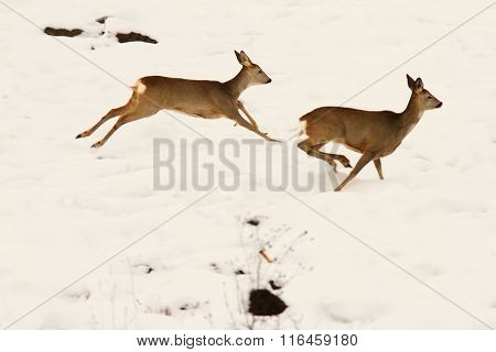 Roe Deers Running In Snow