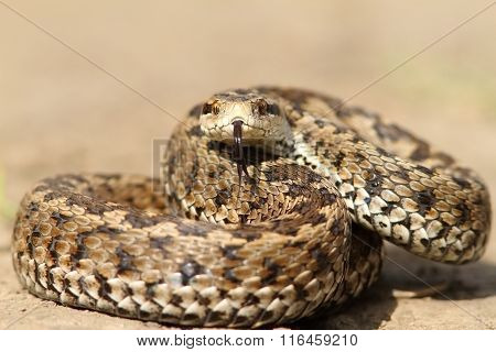 The Elusive Hungarian  Meadow Viper