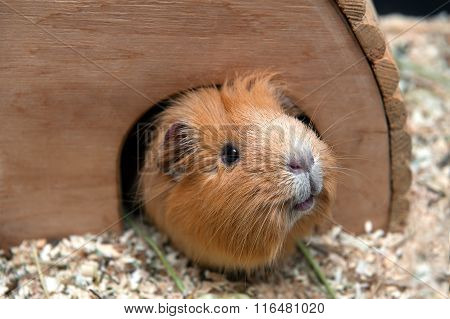Portret Of Red Guinea Pig In Her Wooden House