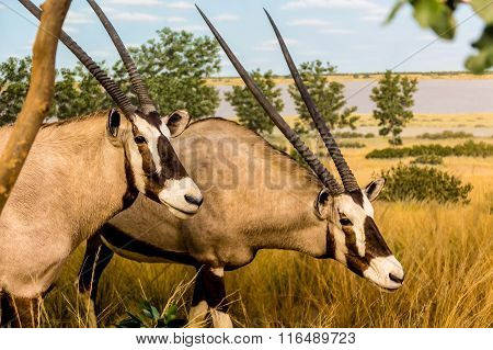 Two Gemsbok In The Grasslands