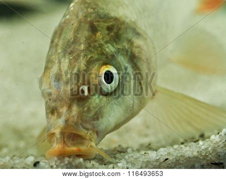 Portrait Of Common Carp Fish