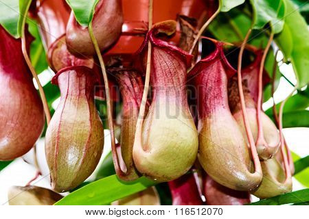 Carnivorous plant - Nepenthes alata