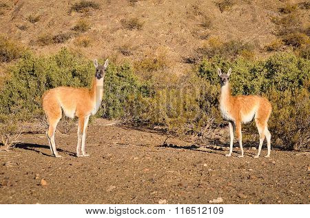 Vicunas In The Ischigualasto National Park, Argentina