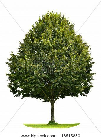 Green Linden Tree Isolated On White Background. Nature Object