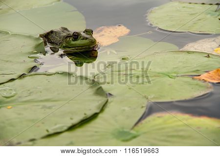 A Frog Hiding In The Lilypads