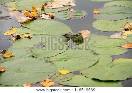 A Bullfrog Hiding
