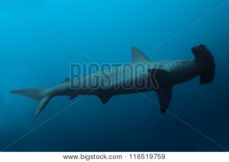Side view of the hammerhead shark in ocean