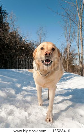 Golden Lab Walks On The Snowcovered Path