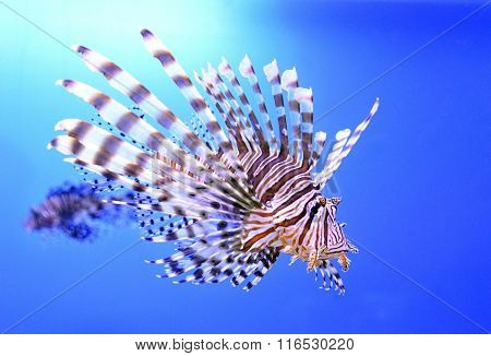 Beautiful zebra fish or striped lionfish in the aquarium