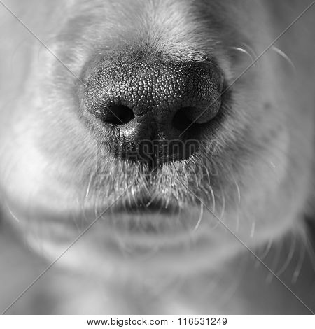 Close Up Of A Spaniels Nose.