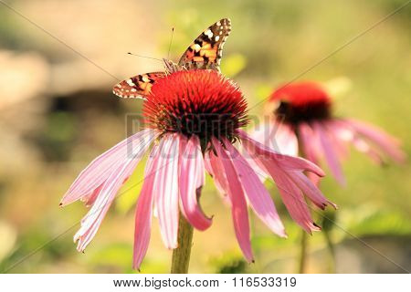 Echinacea with butterflies