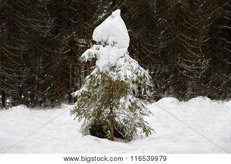 Single Fir Tree In Winter With Snow