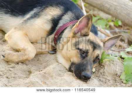 Crossbreed Dog Yard And A German Shepherd, With Sad Eyes Lays On The Sand