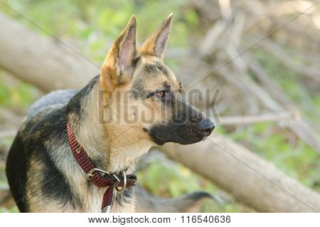 Portrait In Profile Of A Half-breed Dog Yard And A German Shepherd, Lies On The Sand