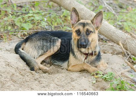 Crossbreed Dog Yard And A German Shepherd, Lies On The Sand