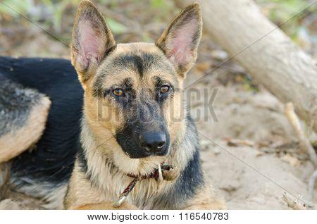 Portrait Of A Half-breed Dog Yard And A German Shepherd