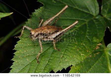 Dark Bush-cricket (pholidoptera Griseoaptera)