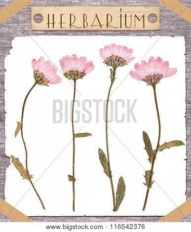 Herbarium Pressed Pink Flowers