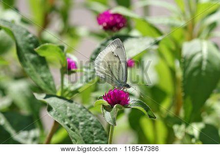 Butterfly Aporia Crataegi White Sitting On A Pink Flower. Butterfly Aporia Krataegi Whiteflies Famil