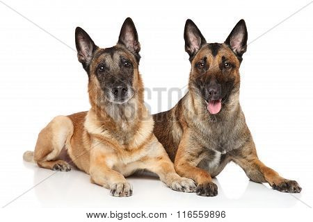 Two Malinois On A White Background
