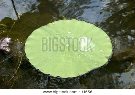 Lilly Leaf