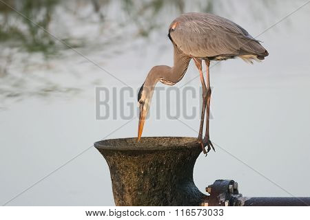 Great Blue Heron Peering Into A Large Water Pipe
