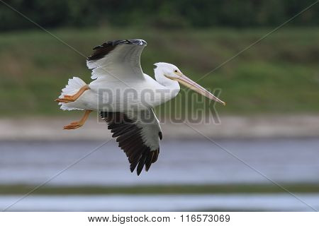 White Pelican In Flight - Florida