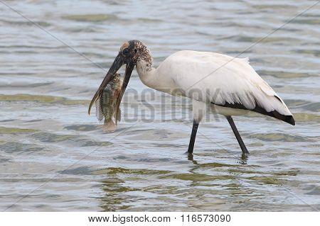 Wood Stork Eating A Tilapia - Florida
