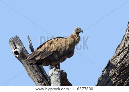 White Backed Vulture Sitting In Dead Tree With Blue Sky