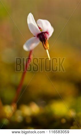 Cranberry blossom
