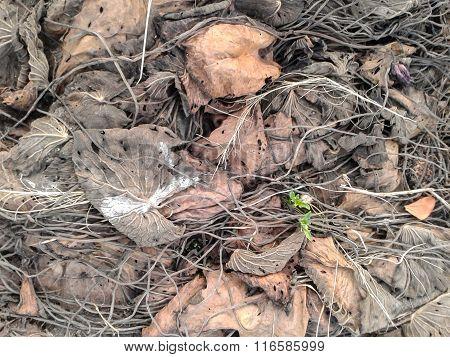 Dry roots lotus on ground