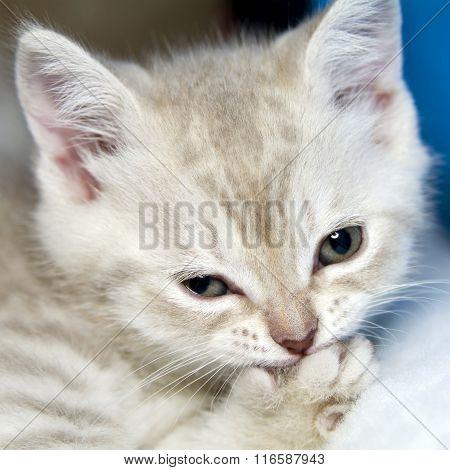 small amusing kitten