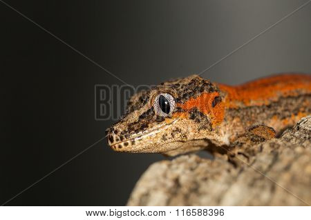 Head Of A Red Striped Gargoyle Gecko