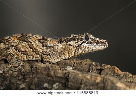 Reticulated Gargoyle Gecko On A Branch