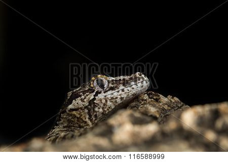 Head Of A Reticulated Gargoyle Gecko