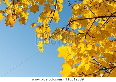 Vigorously Autumnal Deciduous Tree With Cloudless Sky