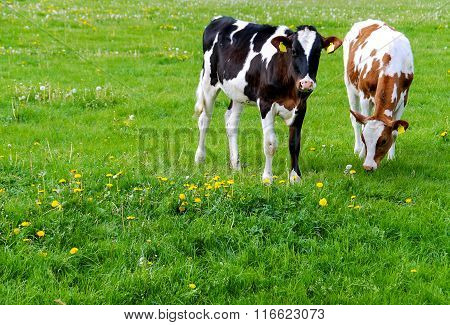 Cows (Holstein) in a meadow