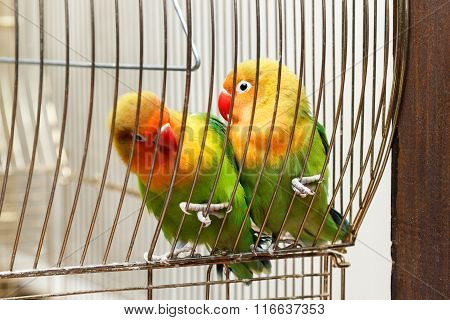 Pair Of Budgies Cling To Bars