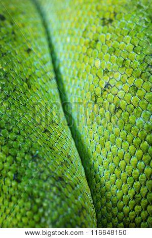 Green Tree Python Morelia Viridis skin texture