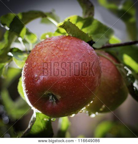 Fresh Ripe Red Apples On Apple-tree