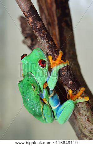 Red-eye Tree Frog  Agalychnis Callidryas Mating