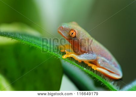 Red-eye Tree Frog  Agalychnis Callidryas In Terrarium