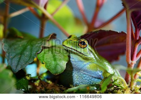 Green Dotted Treefrog Dendropsophus Labialis In Terrarium