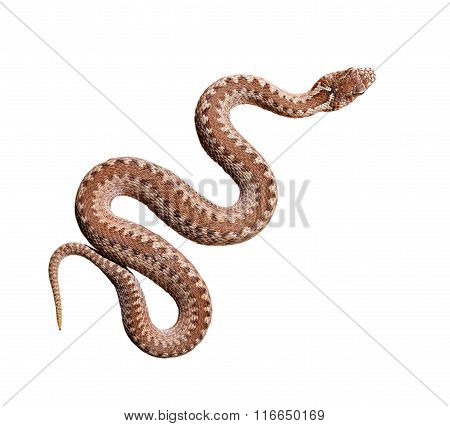 Common Viper Snake Isolated On White