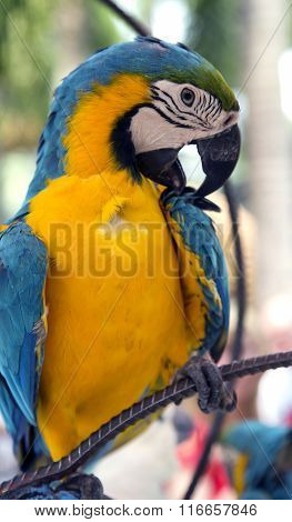 A colorful portrait of a blue and gold macaw parrot