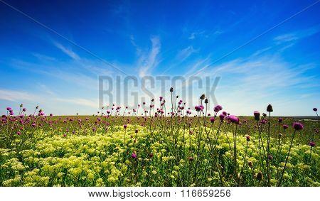 Blooming Thistle In The Field . Crimea , Tarhankut.