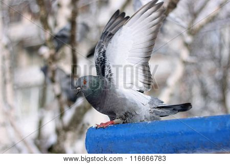 The Pigeon Before Flying.