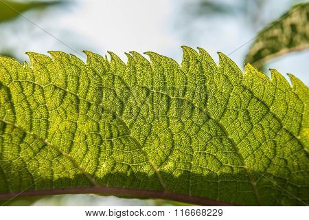 Serrated Leaf Detail