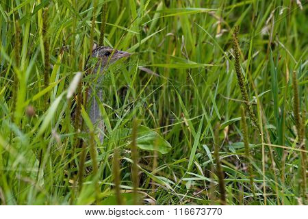 Hidden Corncrake (Crex crex) at summer meadow grass. Moscow region Russia poster