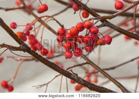 Branch of ashberry with cluster of red and ripe berries